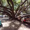 Laihana Banyan Tree, planted 1873