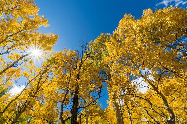 Golden aspens at Monarch Pass