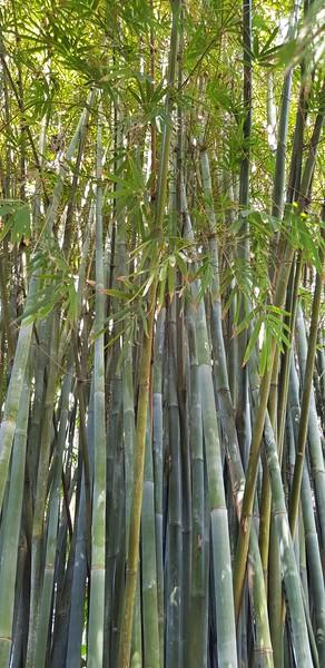 Bambustre regnskog