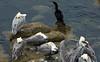 Sleeping pelicans, Monterey, California, 29 September 2006.