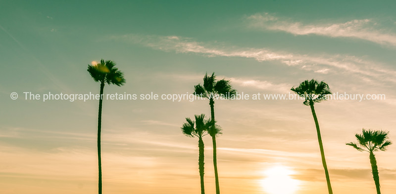 Tropical palms along Californian beaches.