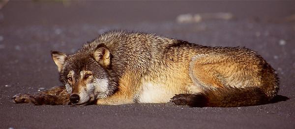 Alaskan Wolf.