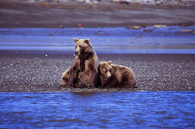 Katmia National Park. Bears fishing on the beach.