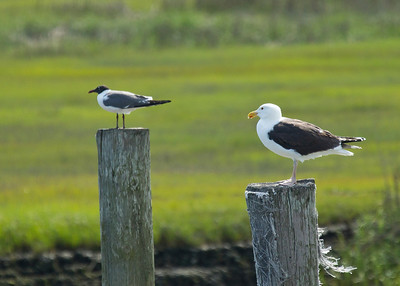 Laughing Gull &  Great Black Backed Gull