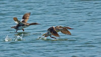 Taking off! Juvenile Mergansers
