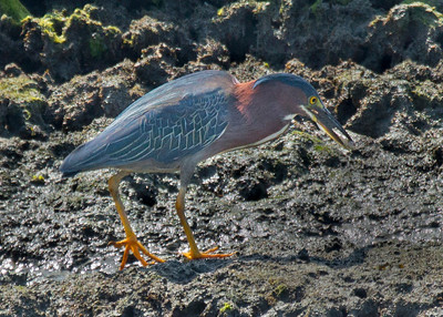 Green Heron with small Fish