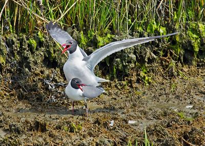 Mating Laughing Gulls