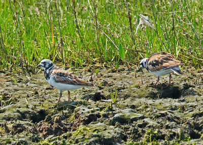 Ruddy Turnstones