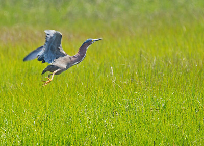 Green Heron Take off