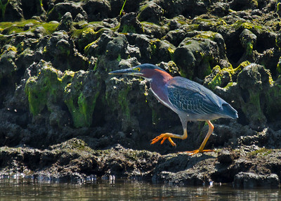 Walking Green Heron