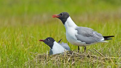 Pair of nesting gulls