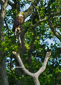 Great bald eagle