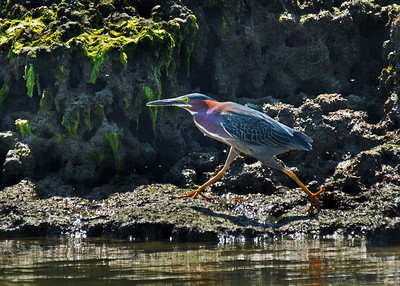 Green Heron walk