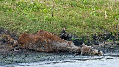 Buzzard over dead cow