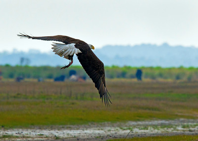 American Bald Eagle flight with fish