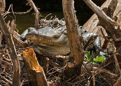Alligator in rest