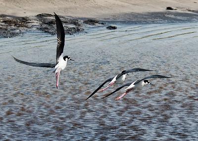 Black-necked stilt birds