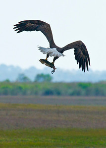 American Bald Eagle fly off