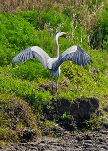 Great Blue Heron spreading wings