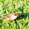 Common or St Helena Waxbills