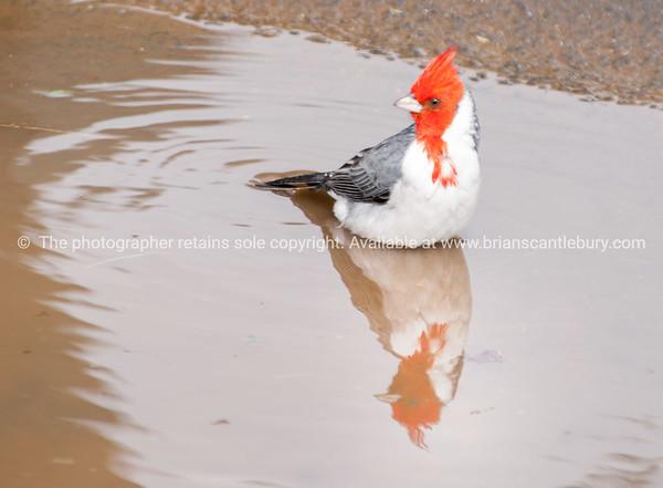 Red Crested Cardinal Bird.