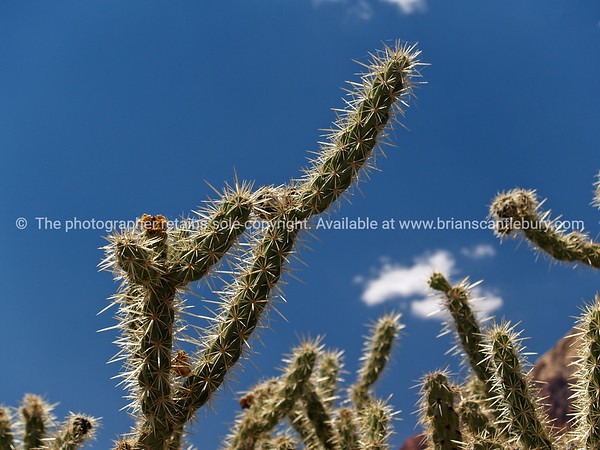 Staghorn cactus, Red Rock Canyon, located 20 miles west of Las Vegas off State Highway 159