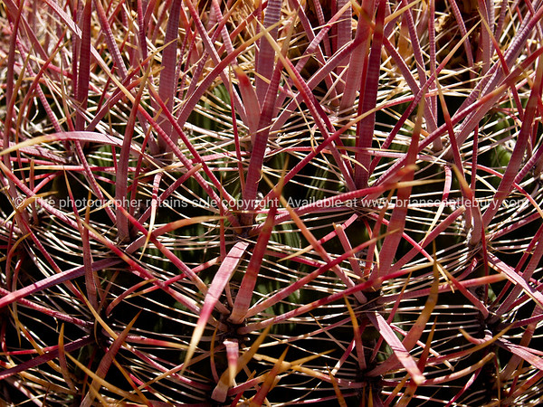 Spikey, macro of barrel cactus, Red Rock Canyon, located 20 miles west of Las Vegas off State Highway 159