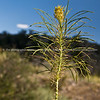 An unusual plant, Red Rock Canyon, located 20 miles west of Las Vegas off State Highway 159