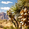 Desert vegetation, Red Rock Canyon, located 20 miles west of Las Vegas off State Highway 159