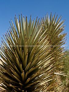 Yucca plants, Red Rock Canyon, located 20 miles west of Las Vegas off State Highway 159