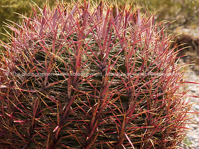 Barrel cactus, Red Rock Canyon, located 20 miles west of Las Vegas off State Highway 159