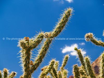 Cactus, Red Rock Canyon