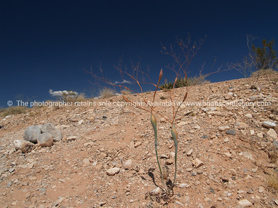 Unusual plants are commonplace in the Red Rock Canyon, located 20 miles west of Las Vegas off State Highway 159