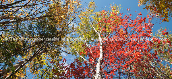 Birch trees in fall, Maine.