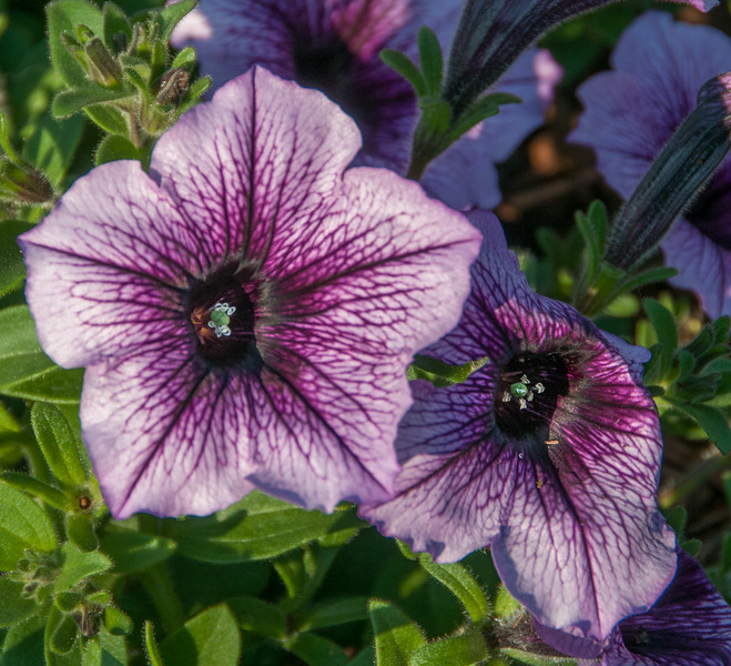 • Location - Downtown Bar Harbor Maine<br /> • Purple Vein Petunia