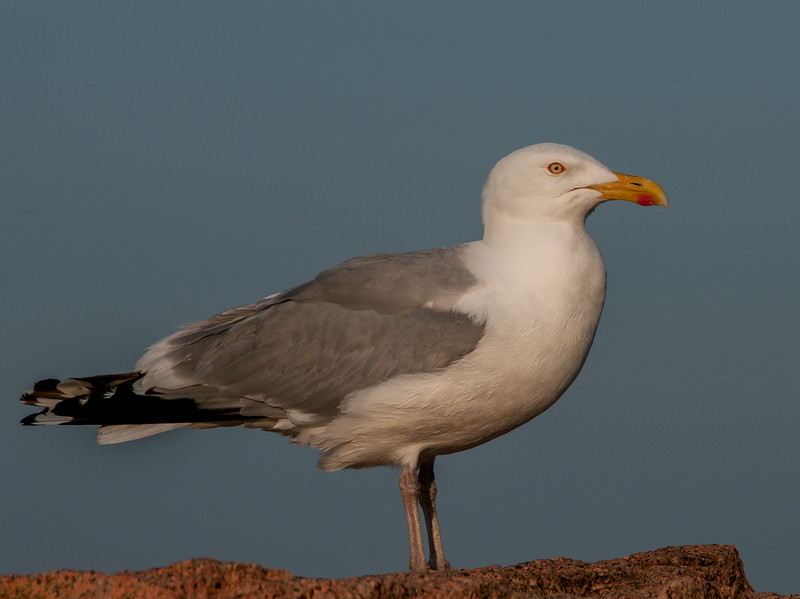 • Location - Cadillac Mountain in Acadia National Park<br /> • This Herring Seagull is the only bird I photographed while I was on our Northeast trip