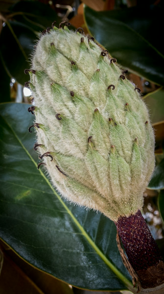 • Location - Around the Holiday Inn in Fayetteville, NC<br /> • Magnolia Tree Flower Bud