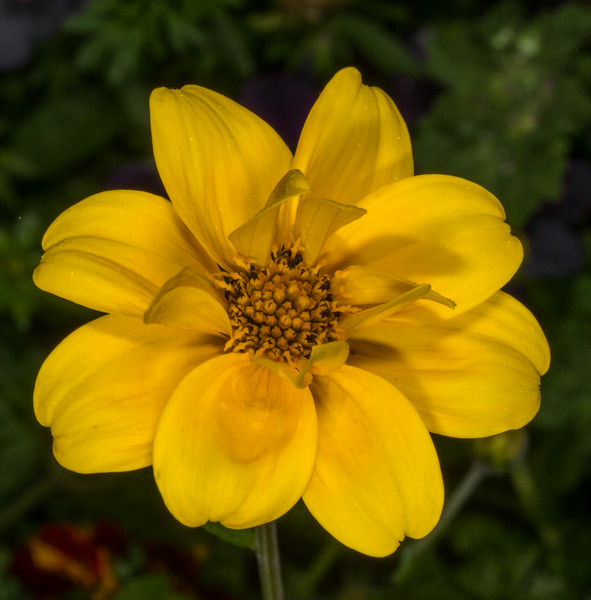 • Location - The Inn At Whale Cove in the Grand Manan Island<br /> • Coreopsis