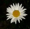 • Location - The Inn At Whale Cove in the Grand Manan Island<br /> • Shasta Daisy