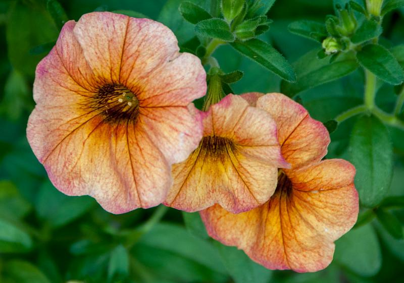 • Location - New Castle, Delaware<br /> • Trio of Calibrachoa cultiva flowers