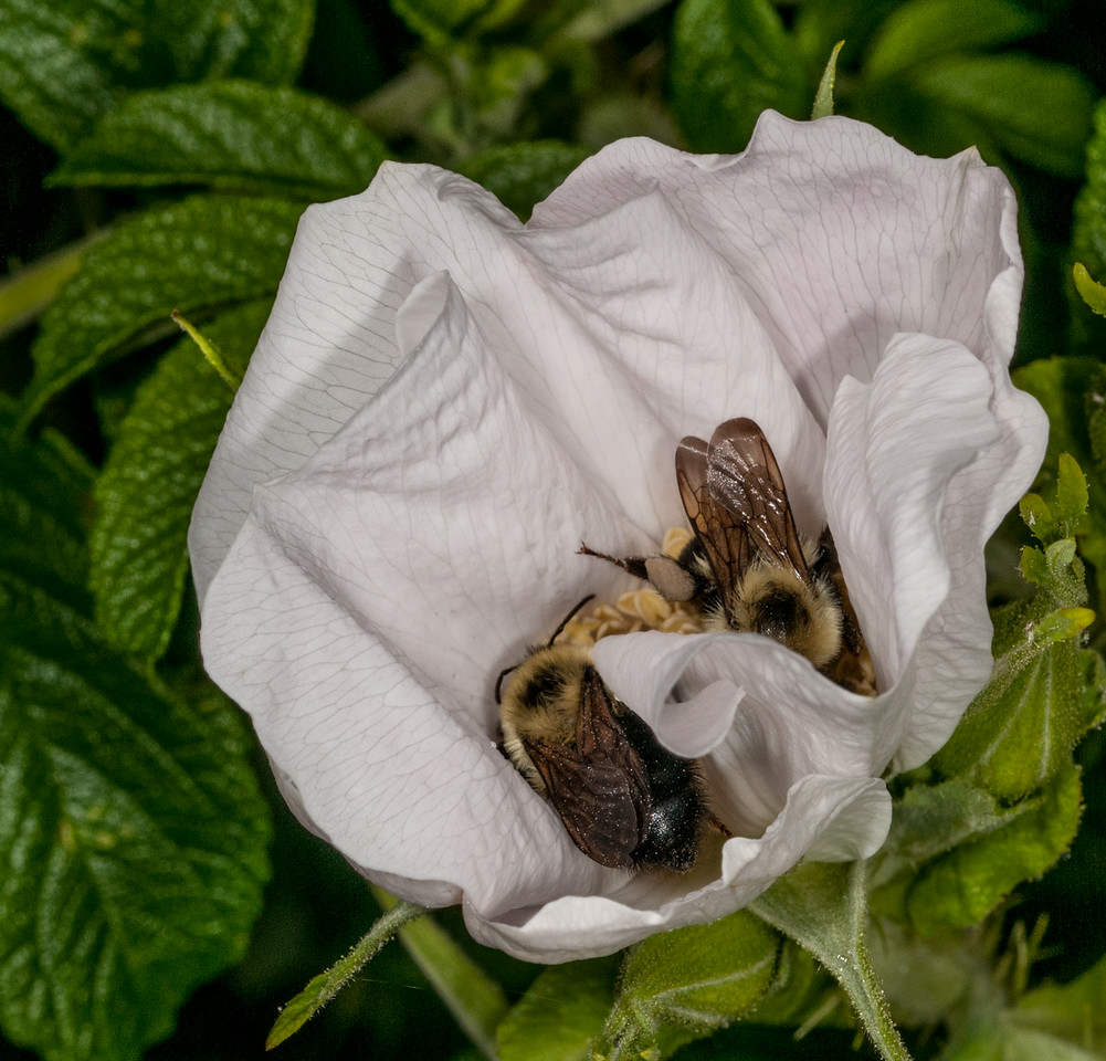 • Location - The Harbor Regency Holiday Inn Hotel<br /> • Rosa Rugosa with a couple of Honey Bees