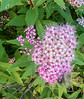 • Location - The La Quinta in Danbury CT<br /> • Spirea Japonica