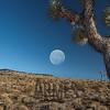 Joshua trees, Route 190, Death Valley National Park, California, USA