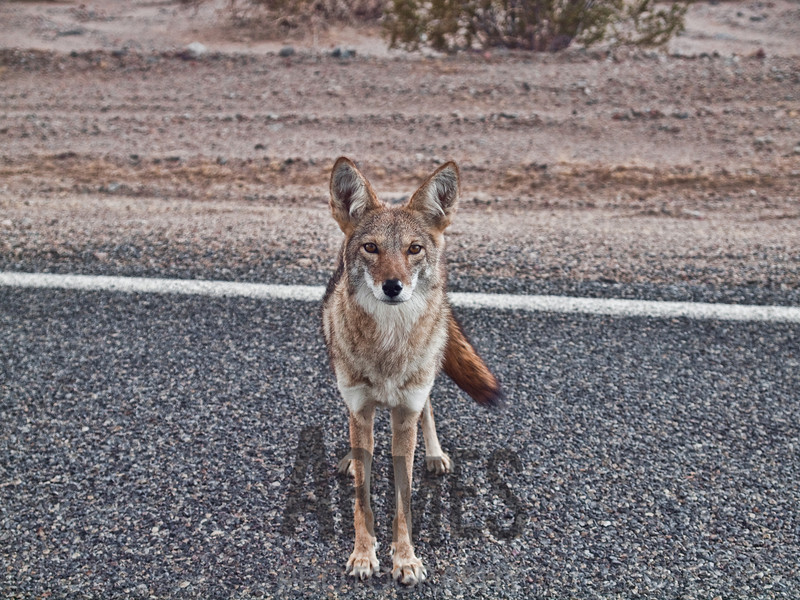 Coyote (Canis latrans), Death Valley National Park, California, USA