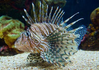 Lion fish Aquarium