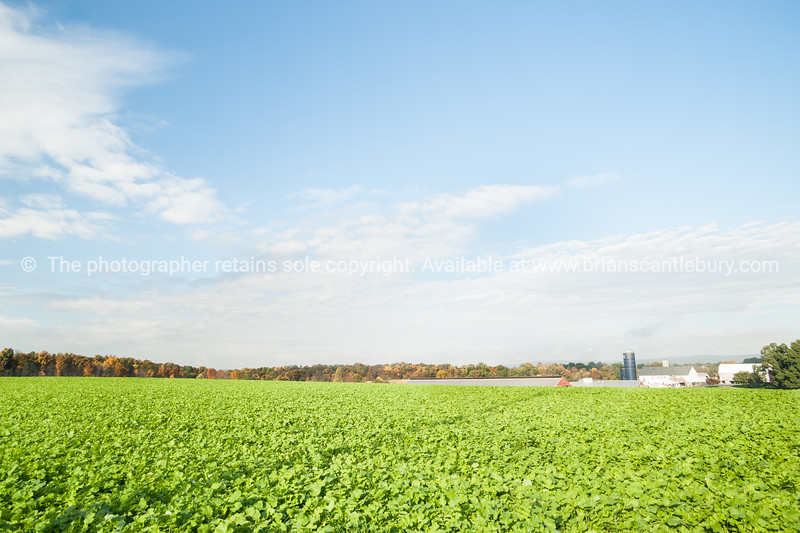 Expansive landscape of green fields with fresh kale crop growing in Lancaster County, Pennsylvania USA