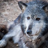 Grey and white wolf portrait closeup with golden eyes.