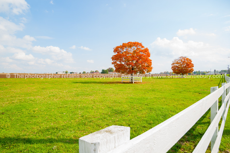 Two trees in golden red fall color foliage in green field with long white railing fence