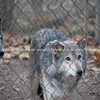 Lititz, P A, USA, Wolves. (38 of 98)
