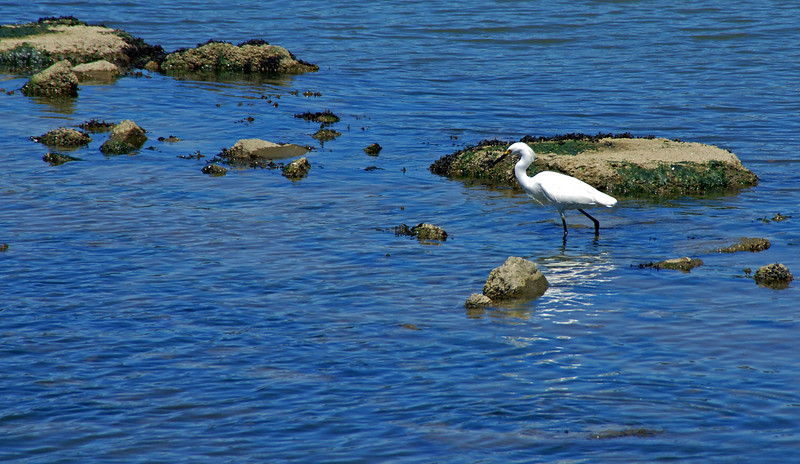 This heron was feeding in the waters just off our restaurant in Sausalito